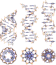 A dna wikipedia side and top view of a b and z dna conformations ccuart Choice Image