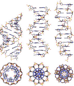 Nucleic acid double helix - Wikipedia