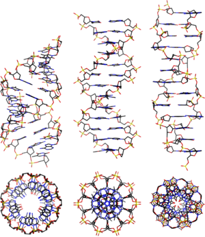 Nucleic acid double helix - The structures of A-, B-, and Z-DNA.