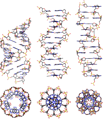 A-DNA - Side and top view of A-, B-, and Z-DNA conformations.