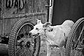 Dog between the Wheels (7001263303).jpg