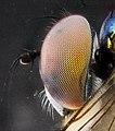 Dolichopodid vibrant eye, side 2012-10-23-16.24 (8120131303).jpg