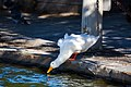 Domestic duck (38520162704).jpg
