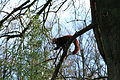 Dortmund - Zoo - Ailurus fulgens 02 ies.jpg
