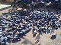 Dove food Hunting.jpg