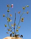 Drosera peltata plant7 (15406287922).jpg