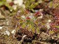Drosera roseana (2).JPG