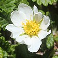 Dryas octopetala var. asiatica (flower).jpg