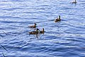 Duck (44200789551).jpg