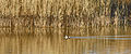 Duck and Reeds (16224683630).jpg