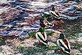 Ducks (34543618840).jpg