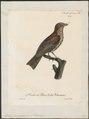 Dulus dominicus - 1825-1834 - Print - Iconographia Zoologica - Special Collections University of Amsterdam - UBA01 IZ16600299.tif