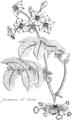 Durand - La pomme de terre, 1834 figure page 8.png