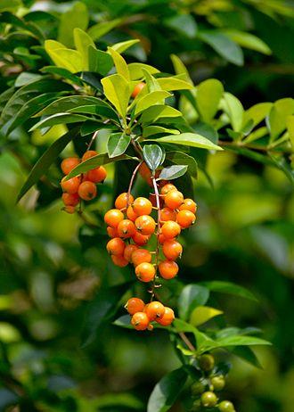 Duranta erecta - Fruits
