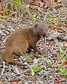 Dwarf Mongoose (Helogale parvula) eating a lizard ... (33376775195).jpg