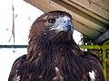 Eagle عقاب 13.jpg