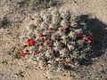 Echinocereus triglochidiatus, Indian Cove 2098 RobbHannawacker.jpg