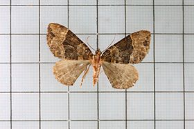 Ecliptopera muscicolor allobathra.jpg