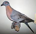 Ectopistes migratorius (passenger pigeon).jpg