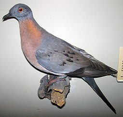 The passenger pigeon was a species of pigeon endemic to North America. It experienced a rapid decline in the late 1800s due to habitat destruction and intense hunting after the arrival of Europeans. The last wild bird is thought to have been shot in 1901. Ectopistes migratorius (passenger pigeon).jpg
