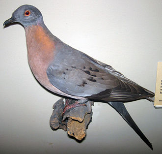 Holocene extinction - The passenger pigeon was a species of pigeon endemic to North America. It experienced a rapid decline in the late 1800s due to intense hunting after the arrival of Europeans. The last wild bird is thought to have been shot in 1901.