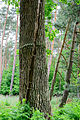 Eiche - oak - quercus - trunk with crack - Stamm mit Riss.jpg
