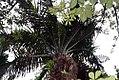 Elaeis guineensis 24zz.jpg