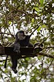 Electrocuted lion-tailed macaque infant in Valparai DSC 2584.jpg
