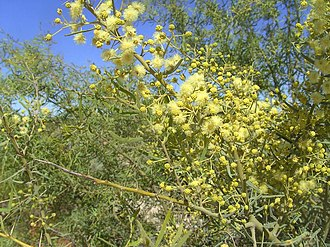 Acacia victoriae - Flowers