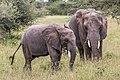 Elephant - Tarangire National Park - Tanzania-9 (34267604614).jpg