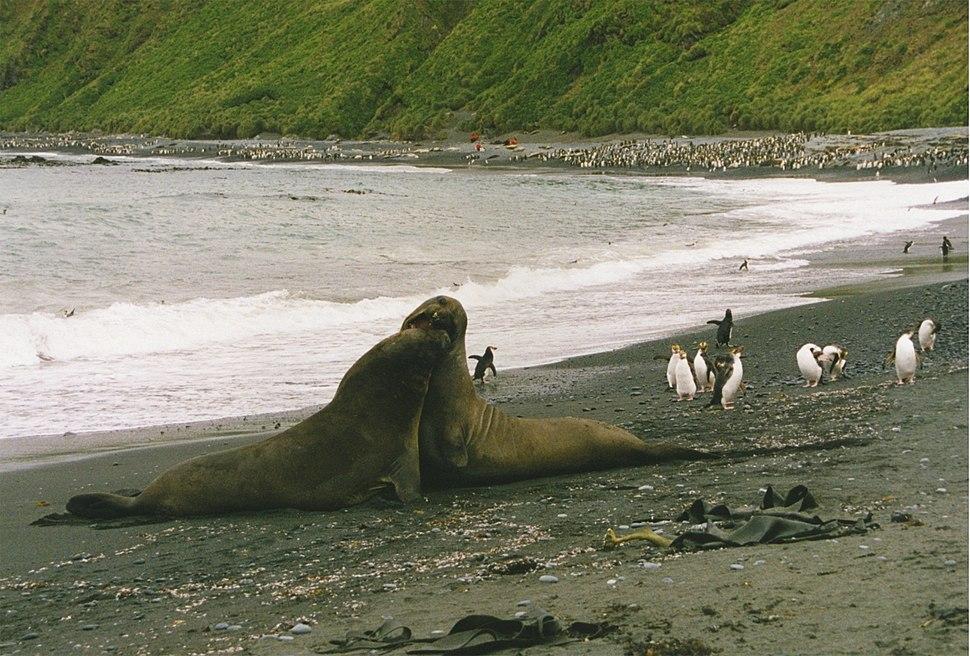 Elephant seals play fight