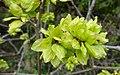 Elm (Ulmus minor 'Atinia') samaras, Perceton, North Ayrshire.jpg