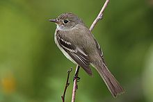 Empidonax alnorum CT2.jpg