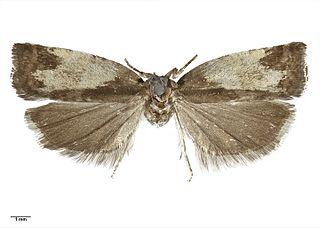<i>Epichorista</i> Genus of tortrix moths