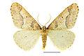 Erannis defoliaria (2) SLU.JPG