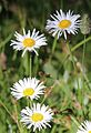 Erigeron coulteri Coulters daisy clump.jpg