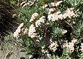 Eriogonum arborescens kz3.jpg