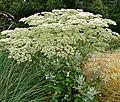 Eriogonum giganteum 1.jpg