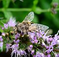 Eristalis arbustorum. Female - Flickr - gailhampshire.jpg