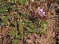 Erodium cicutarium 2021-03-31 5113.jpg