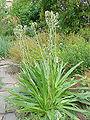 Eryngium yuccifolium4.jpg