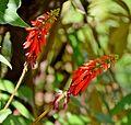 Erythrina humeana in Jardin des Plantes de Toulouse 03.jpg