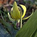 Erythronium umbilicatum flower.jpg
