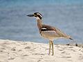 Esacus magnirostris - Beach stone-curlew Qld.jpg