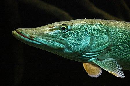Esox lucius Aquarium DG.jpg
