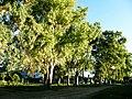 Eucalyptus - Reconquista - Santa Fe - Argentina - 2.jpg