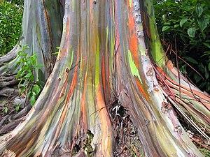 Eucalyptus deglupta-base.jpg