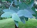 Eucalyptus kartzoffiana Batemans Bay.JPG
