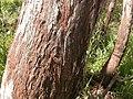 Eucalyptus macrorhyncha (5085026753).jpg