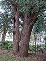 Eucalyptus paniculata Glebe.JPG